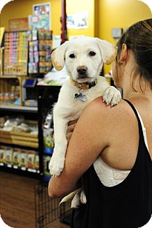 Labrador Retriever/Beagle Mix Puppy for adoption in Greenfield, Wisconsin - Hillary