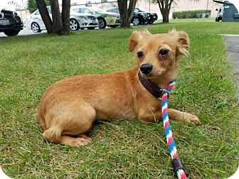 Dachshund Mix Dog for adoption in Plainfield, Illinois - Remy Ma