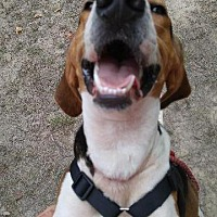 Treeing Walker Coonhound Dog for adoption in Jefferson, Texas - Billy Boy