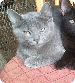 Domestic Mediumhair Kitten for adoption in Yorba Linda, California - Cinder
