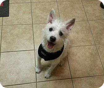 Westie, West Highland White Terrier Mix Dog for adoption in Sharon, Connecticut - Dusty