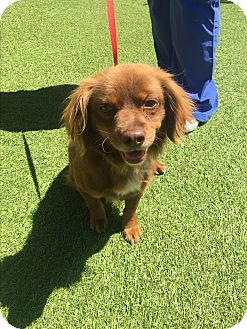 Cavalier King Charles Spaniel Mix Dog for adoption in San Antonio, Texas - Chestnut