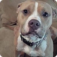 Adopt A Pet :: Callie - Harrisonburg, VA