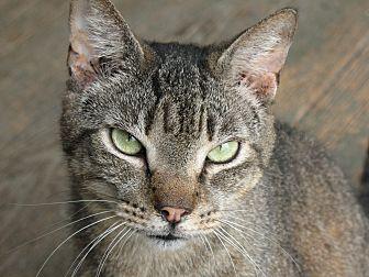 Domestic Shorthair Cat for adoption in Nashville, Georgia - Forrest