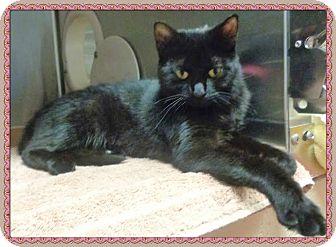 Domestic Shorthair Cat for adoption in Marietta, Georgia - ISABELLA