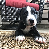 Adopt A Pet :: Travis - Seattle, WA