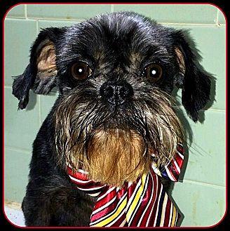 Affenpinscher Dog for adoption in Seymour, Missouri - TESSIE in Burlington, IA.