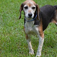 Adopt A Pet :: Billie Jo (Fostered in TN) - Brighton, TN