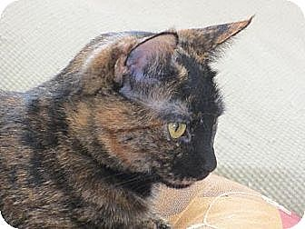 British Shorthair Cat for adoption in Los Angeles, California - Libby