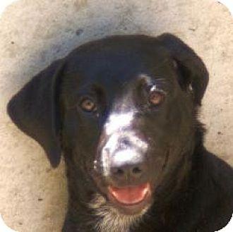 Labrador Retriever Mix Dog for adoption in Oakland, Arkansas - Ebony