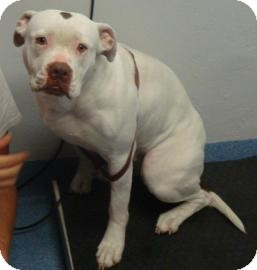 American Bulldog Mix Dog for adoption in Gainesville, Florida - Cupckae