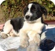 Labrador Retriever/Golden Retriever Mix Puppy for adoption in Staunton, Virginia - Flower
