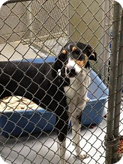 Treeing Walker Coonhound Mix Dog for adoption in MARION, Virginia - Breezy