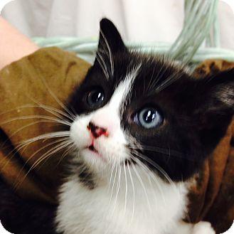 Domestic Shorthair Kitten for adoption in Ogden, Utah - Keyser Soze