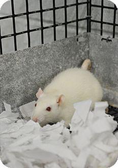 Rat for adoption in Bay Shore, New York - Rat