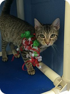 Domestic Shorthair Cat for adoption in Germantown, Tennessee - Missy