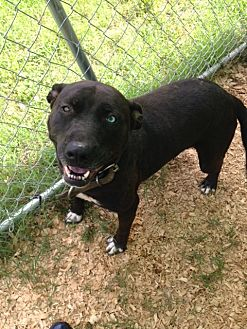 Labrador Retriever/American Pit Bull Terrier Mix Dog for adoption in Baxter, Tennessee - Katie