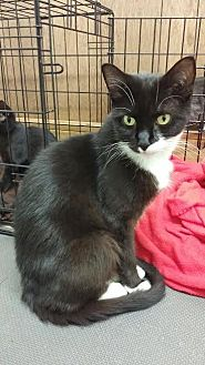 Domestic Shorthair Cat for adoption in Harrisburg, Pennsylvania - Sheba (adult female)