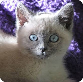 Siamese Kitten for adoption in Davis, California - Lauryn