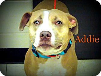 Pit Bull Terrier Dog for adoption in Defiance, Ohio - Addie
