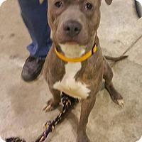 Adopt A Pet :: Busa - Lima, OH
