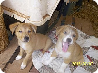 Terrier (Unknown Type, Small) Mix Puppy for adoption in Wedowee, Alabama - Mickey and Dickey