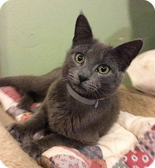 Manx Cat for adoption in Breinigsville, Pennsylvania - Zena