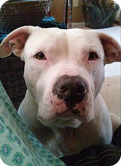 Pit Bull Terrier Mix Dog for adoption in San Antonio, Texas - Marshall
