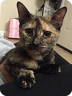 Domestic Shorthair Cat for adoption in Tampa, Florida - Pearl