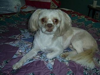 Shih Tzu Dog for adoption in DeRidder, Louisiana - Hotshot