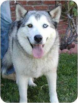 Siberian Husky Dog for adoption in Southern California, California - Aries