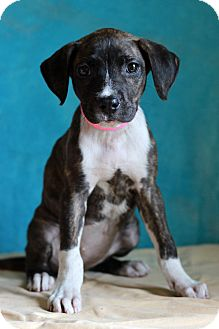 Boxer Mix Puppy for adoption in Waldorf, Maryland - Amber