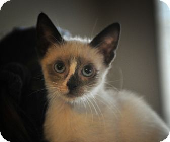 Siamese Kitten for adoption in Tomball, Texas - Augustus