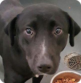 Labrador Retriever Mix Dog for adoption in Fort Smith, Arkansas - Sophie