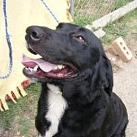 Labrador Retriever/Golden Retriever Mix Dog for adoption in Dallas, Texas - Tailer