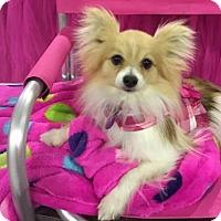 Adopt A Pet :: Irene - Dallas, TX