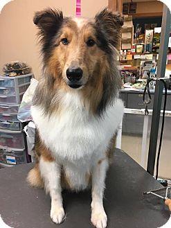 Sheltie, Shetland Sheepdog Dog for adoption in New Castle, Pennsylvania - Chase (Adopted)