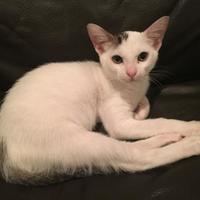 Adopt A Pet :: Cottonwood - Houston, TX
