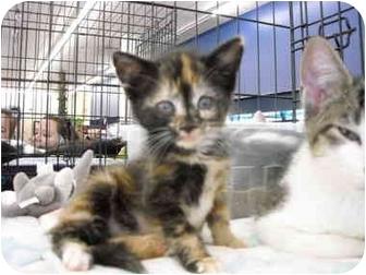 Domestic Shorthair Kitten for adoption in Riverside, Rhode Island - Emma