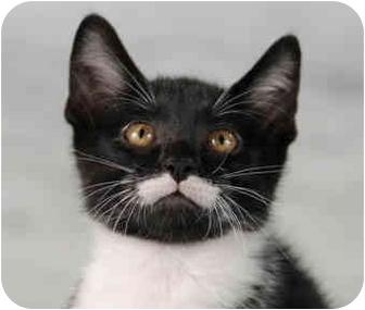 Domestic Shorthair Kitten for adoption in Chicago, Illinois - Magnum