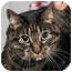 Photo 1 - Domestic Shorthair Cat for adoption in Chicago, Illinois - Yuppie