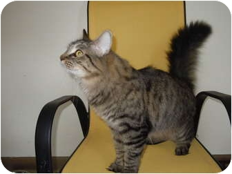 Maine Coon Cat for adoption in Scottsburg, Indiana - Max
