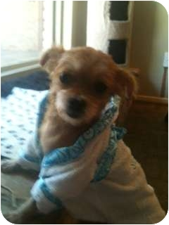Yorkie, Yorkshire Terrier Dog for adoption in Boise, Idaho - Dallas