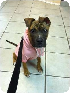 Boxer/American Pit Bull Terrier Mix Puppy for adoption in Astoria, New York - Holly