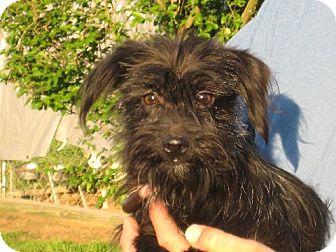 Shih Tzu/Dachshund Mix Dog for adoption in Greenville, Rhode Island - Morticia