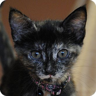 Domestic Shorthair Kitten for adoption in Weatherford, Texas - Roxy
