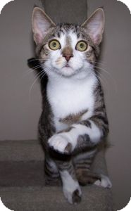 Domestic Shorthair Cat for adoption in Colorado Springs, Colorado - K-Paws1-Yuki