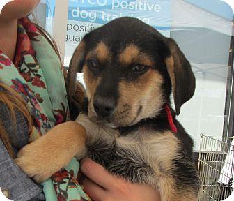 Beagle/Shepherd (Unknown Type) Mix Puppy for adoption in Lincolnton, North Carolina - Leo