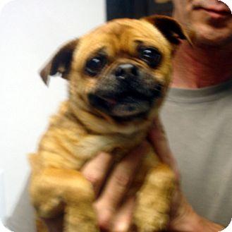 Pug Mix Dog for adoption in Greencastle, North Carolina - Abraham