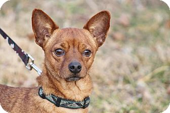 Chihuahua/Dachshund Mix Dog for adoption in Marion, North Carolina - Cisco